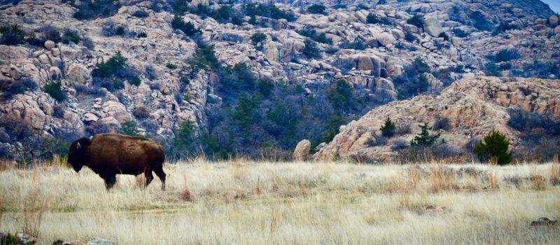 lawton wildlife refuge, bison