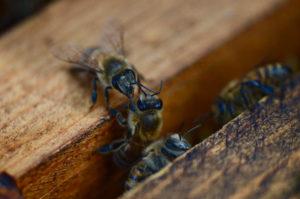 pollinator, bees
