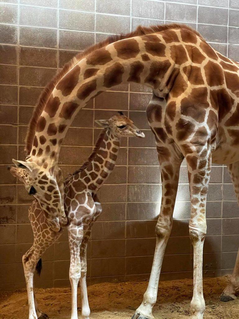 baby giraffe okc zoo